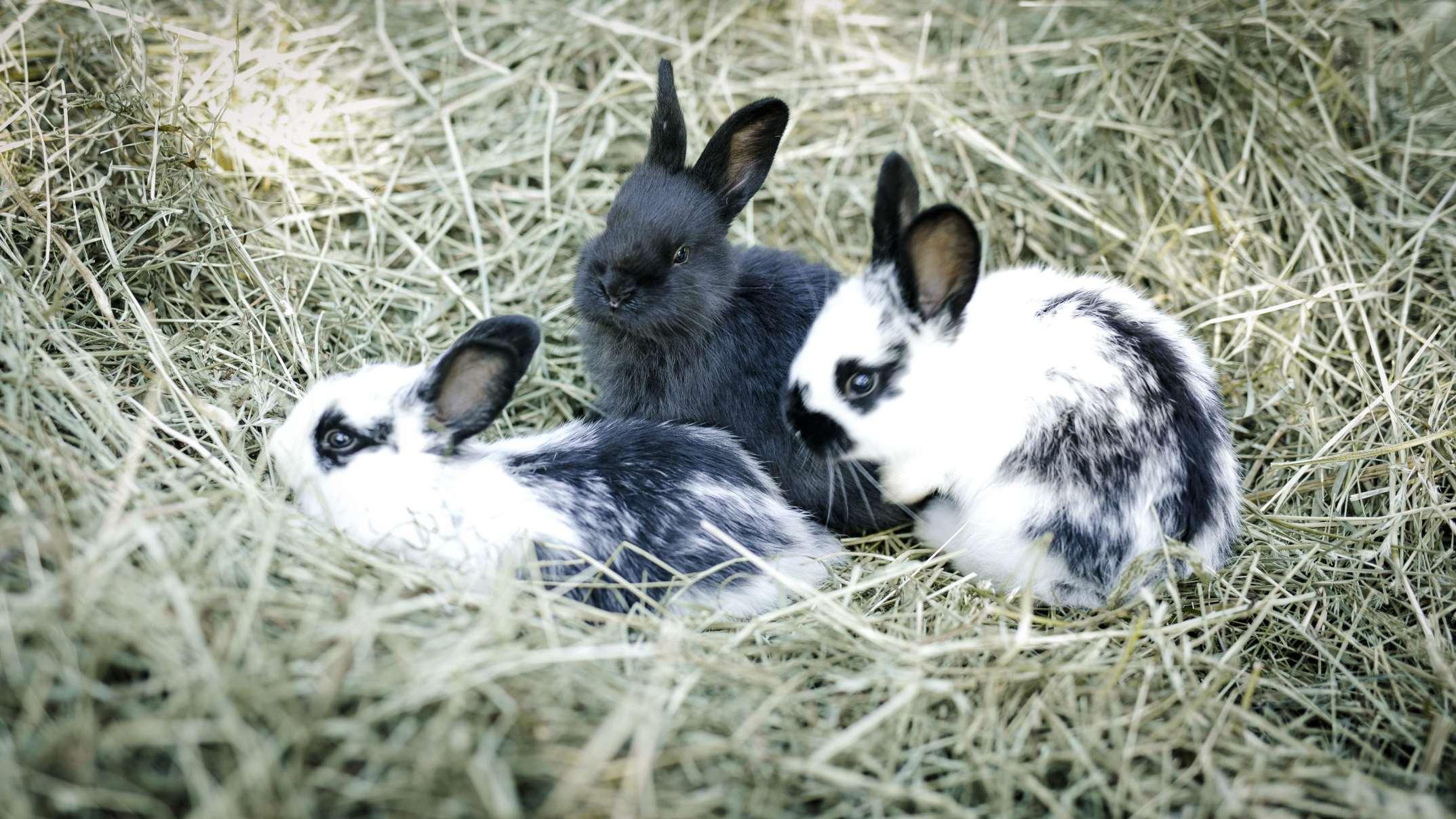 Kaninchen fressen Almheu